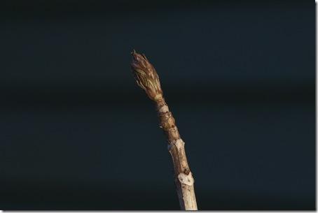 Hydrangea bud #3